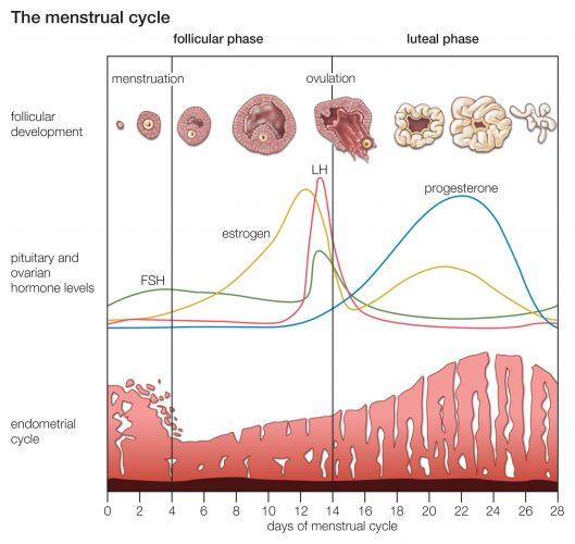 цикл менструации