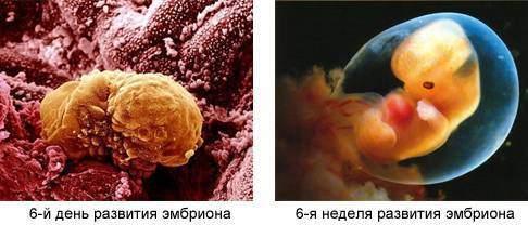 6 день и 6 неделя развития эмбриона
