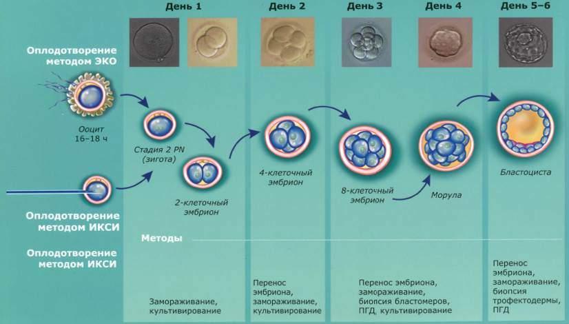 Развитие эмбриона по дням после переноса