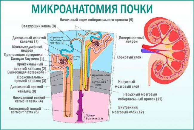 Mikroanatomija-pochki.jpg